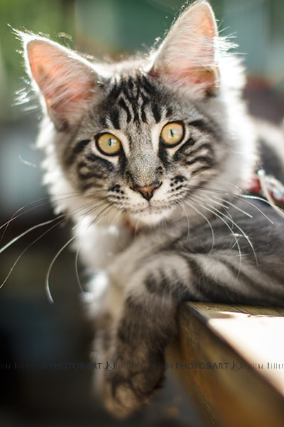 Photograph Maine Coon kitten 3 by Kristiina Hillerström on 500px