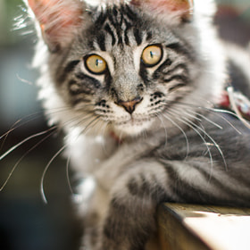 Maine Coon kitten 3 by Kristiina Hillerström (chrisseee)) on 500px.com