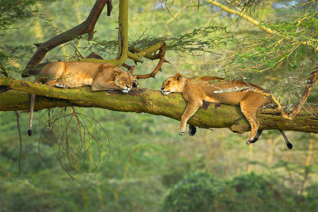 Photograph Big Cat Nap by Stephen Oachs on 500px
