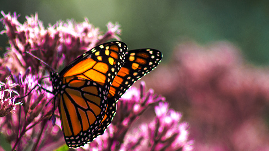 Butterfly  - Iowa state fair by Jeff Carter on 500px.com