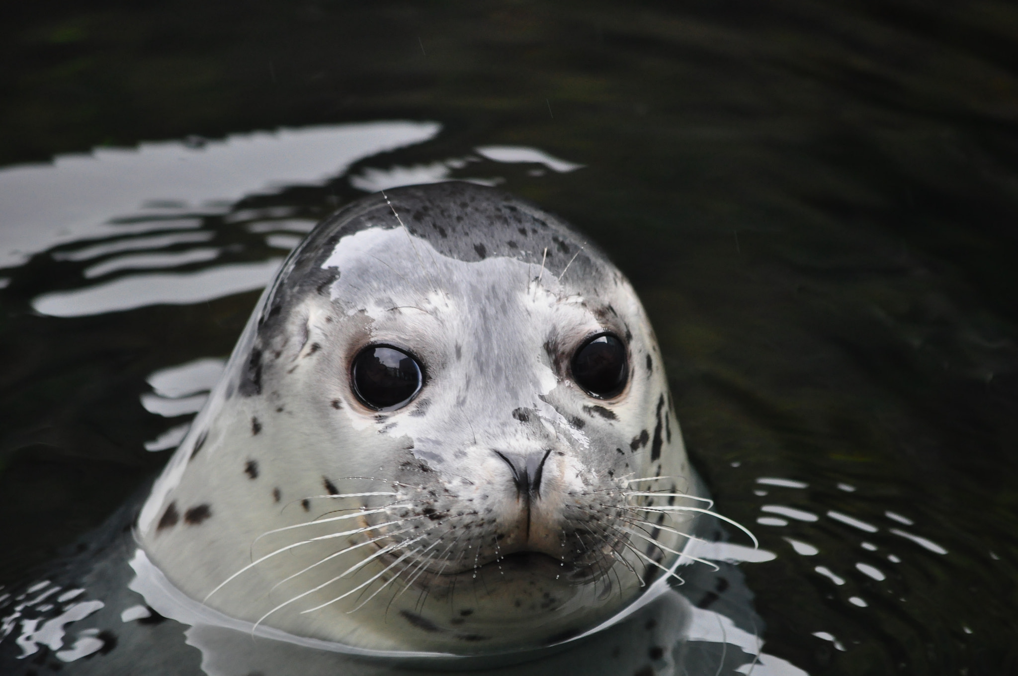 Photograph Harbor Seal by Daniele Bertin on 500px