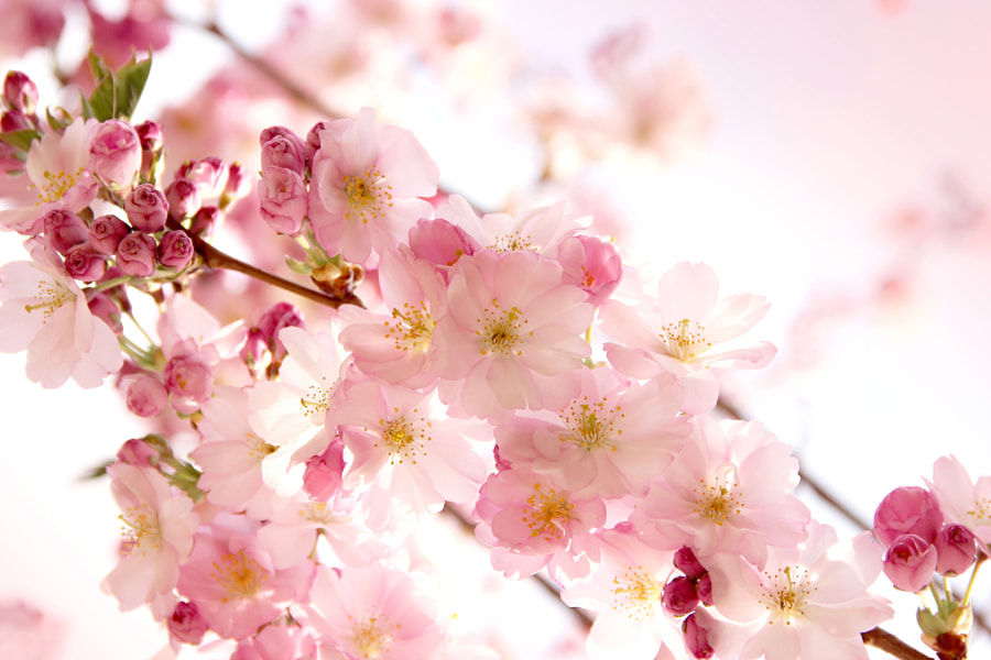 sakura by lonspera on 500px.com