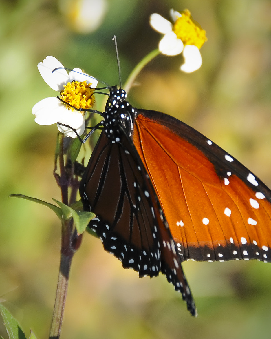 Photograph Butterfly by Michael Whittaker on 500px