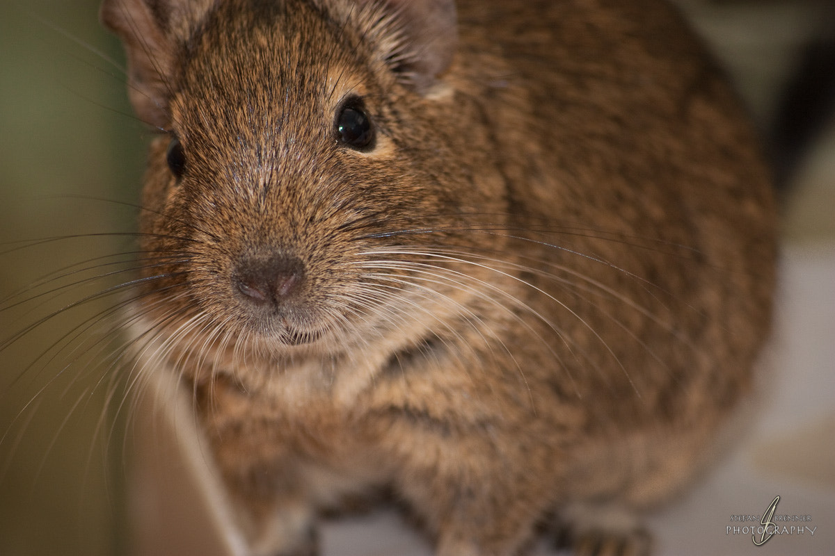 Photograph Say Hello to my Degu! by Stefan Brenner on 500px