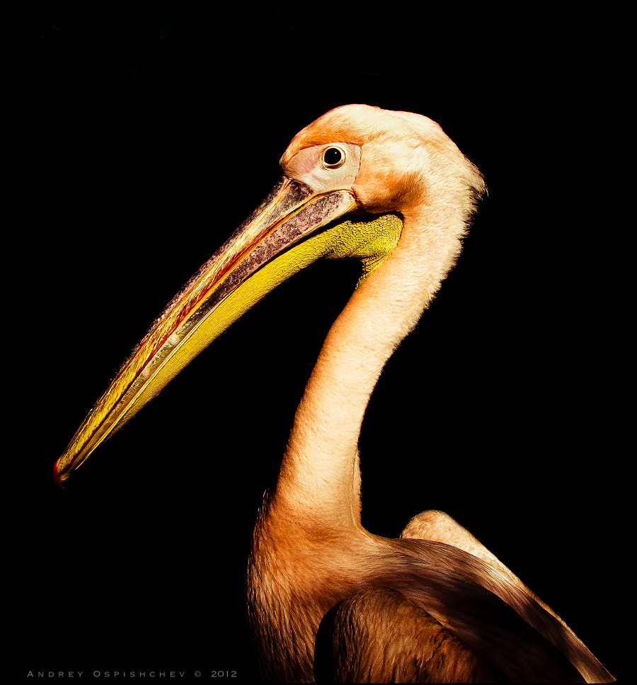 Photograph Pelican by Andrey  Ospishchev on 500px