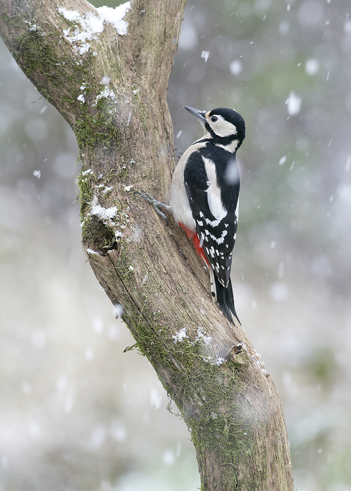Photograph Woodpecker by Kevin  Keatley on 500px