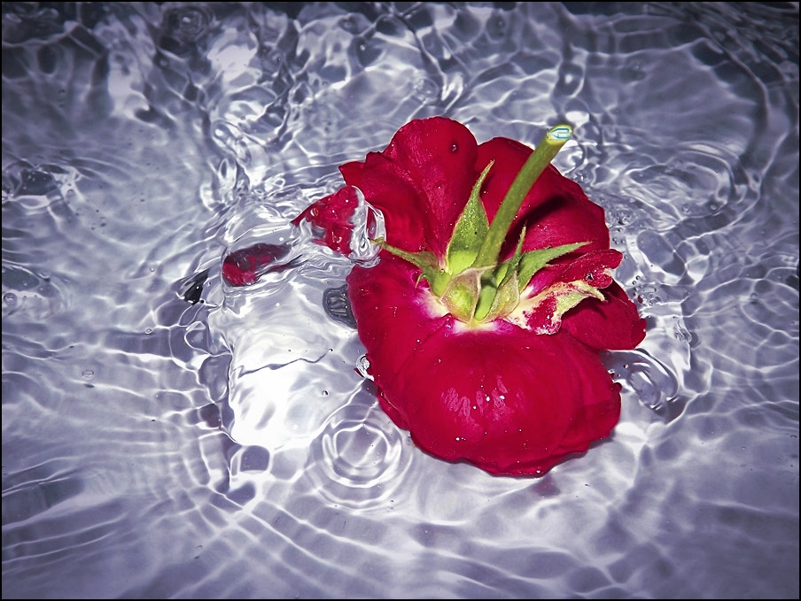 Photograph Rose in water by Benjamin Keran on 500px
