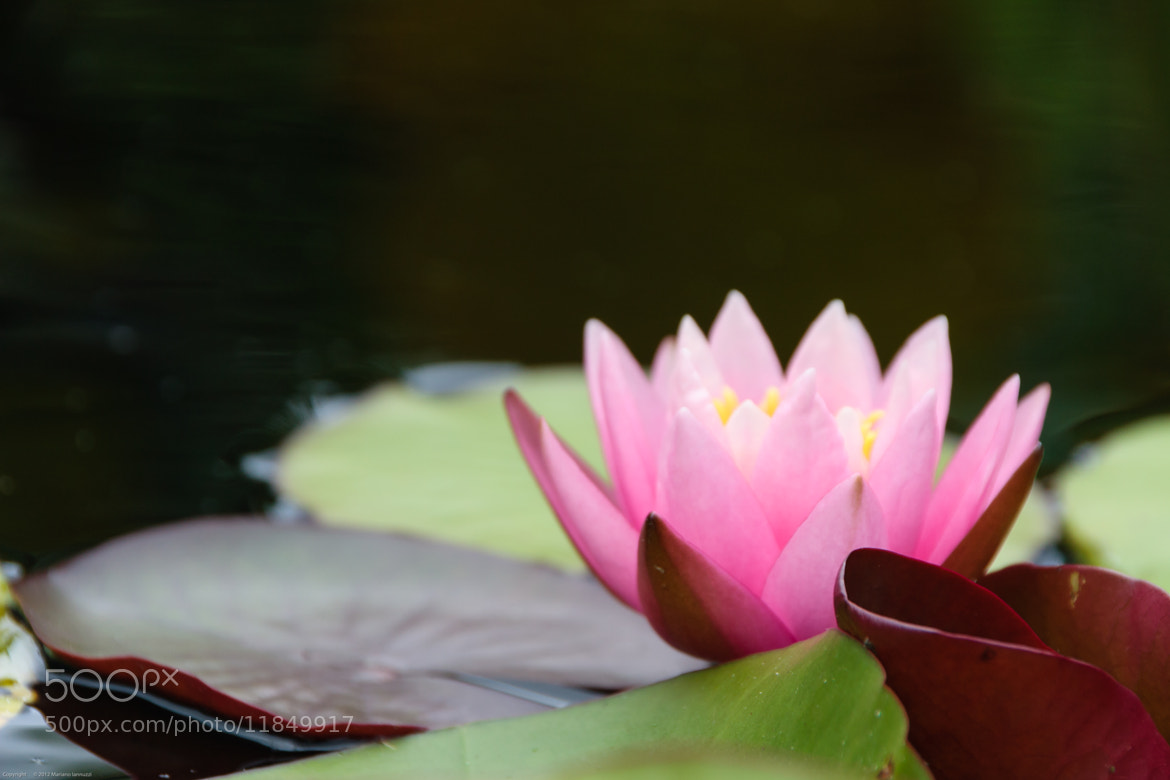 Photograph Water Lily (Side View) by Mariano Iannuzzi on 500px