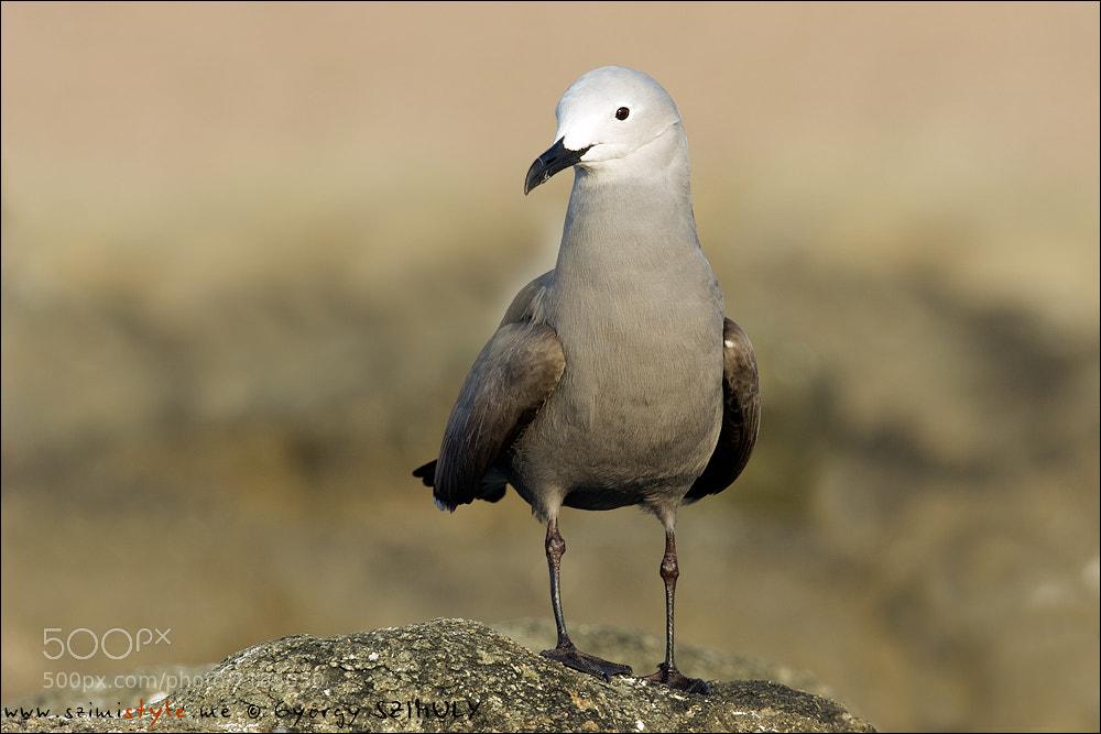 Photograph Grey Gull (Leucophaeus modestus) by Gyorgy Szimuly on 500px