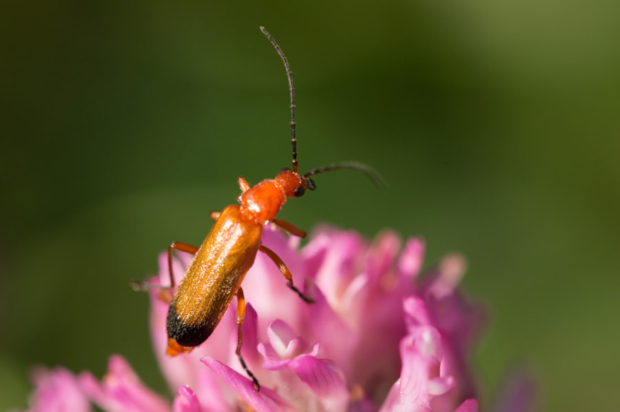 Photograph Red Soldier Beetle (Rhagonycha fulva) by Robert Carr on 500px