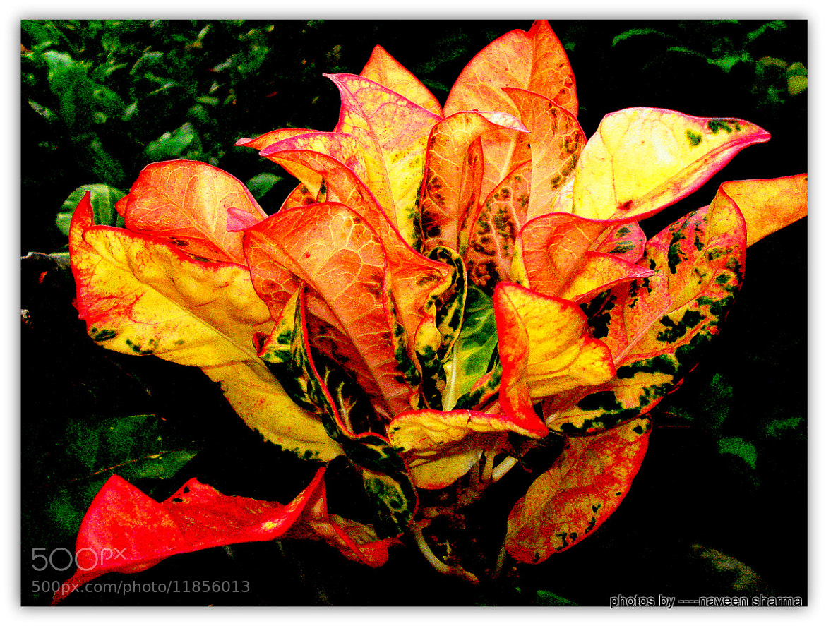 Photograph BOUQUET OF CROTON LEAVES by naveen sharma on 500px