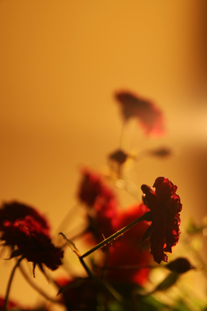 Photograph red petals  by Kastriot Pasholli on 500px