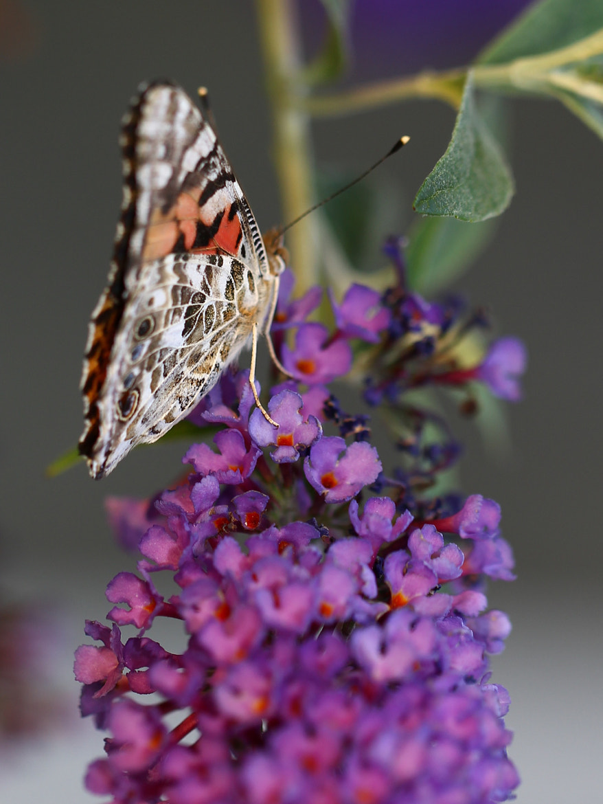 Photograph Papillon by Paul Maillet on 500px