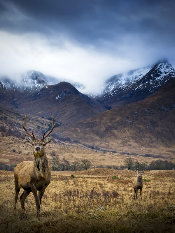 Photograph Red Deer , Glen Etive by David Mould on 500px