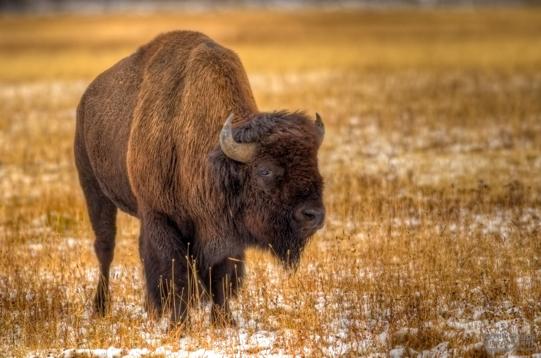 Photograph Yellowstone Bison II by Derek Griggs on 500px