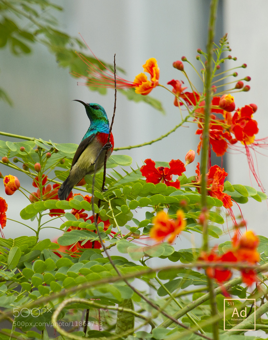 Photograph Northern Double Collared Sunbird by AJ Adam on 500px