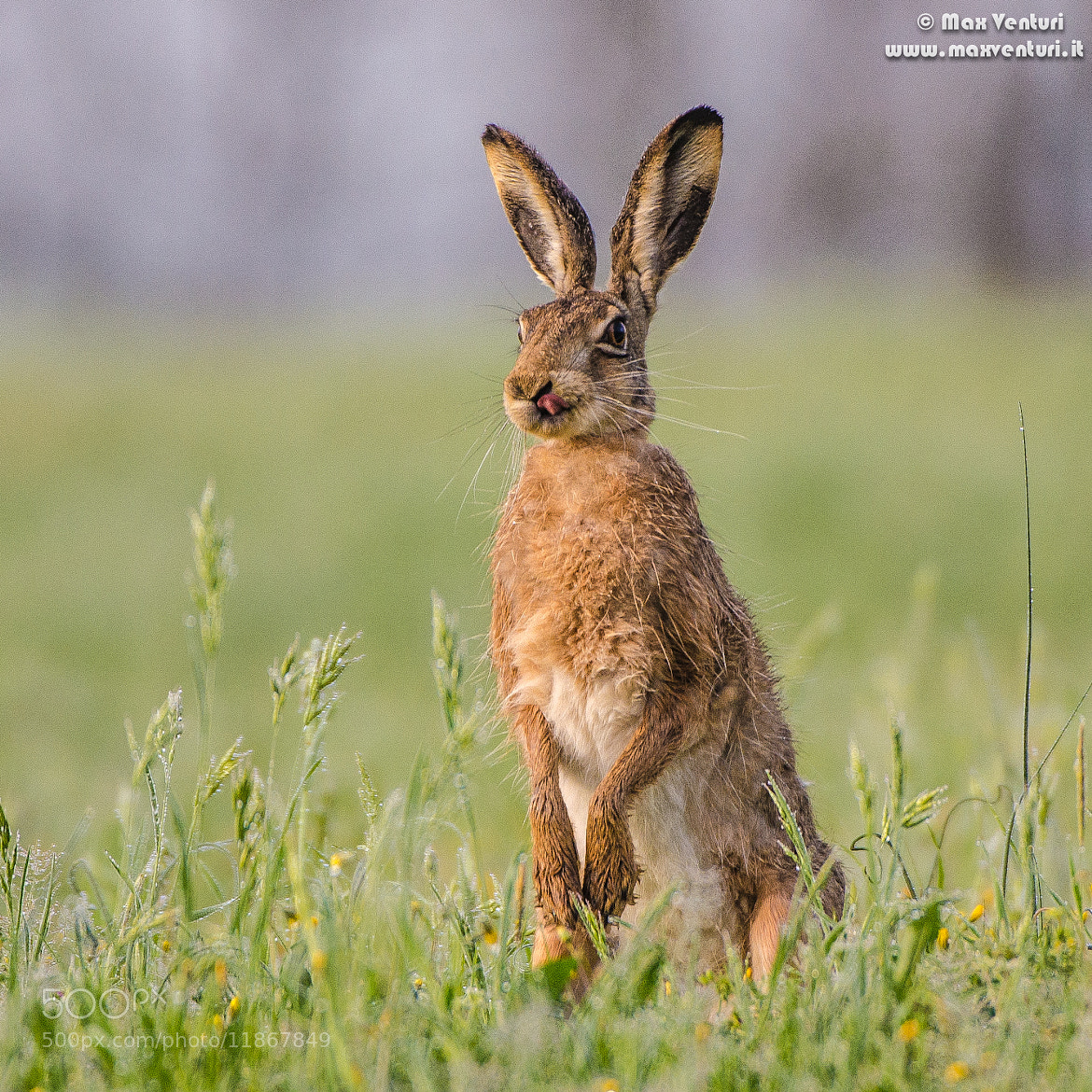 Photograph HARE by Max Venturi on 500px