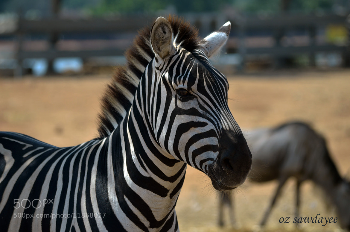 Photograph zebra by Oz Sawdayee on 500px