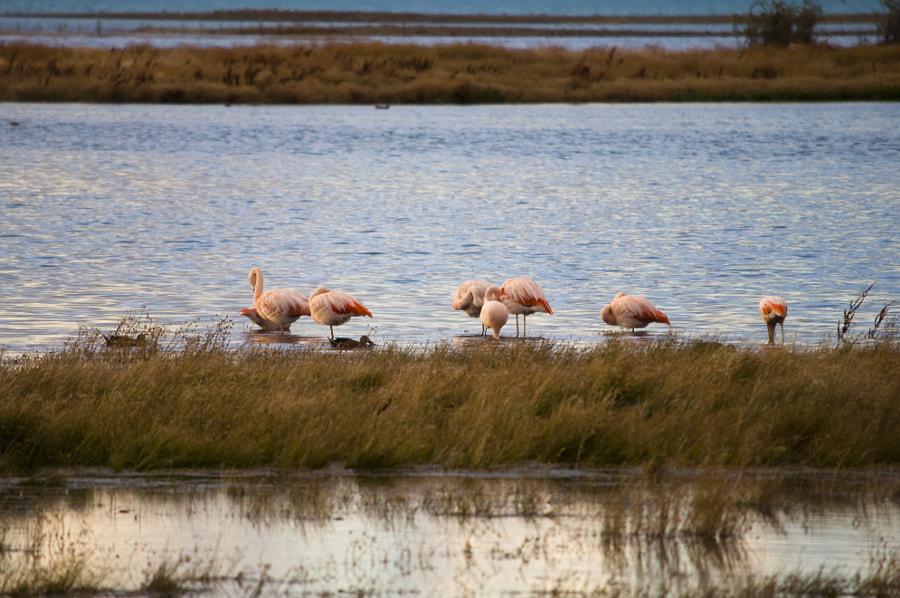 Pink Flamingoes in El Calafate