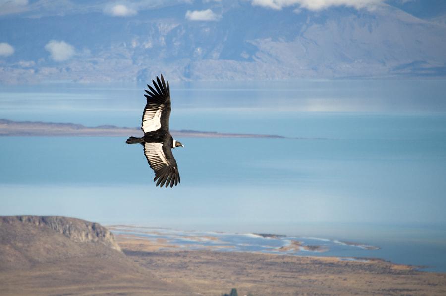 Condor - El Calafate