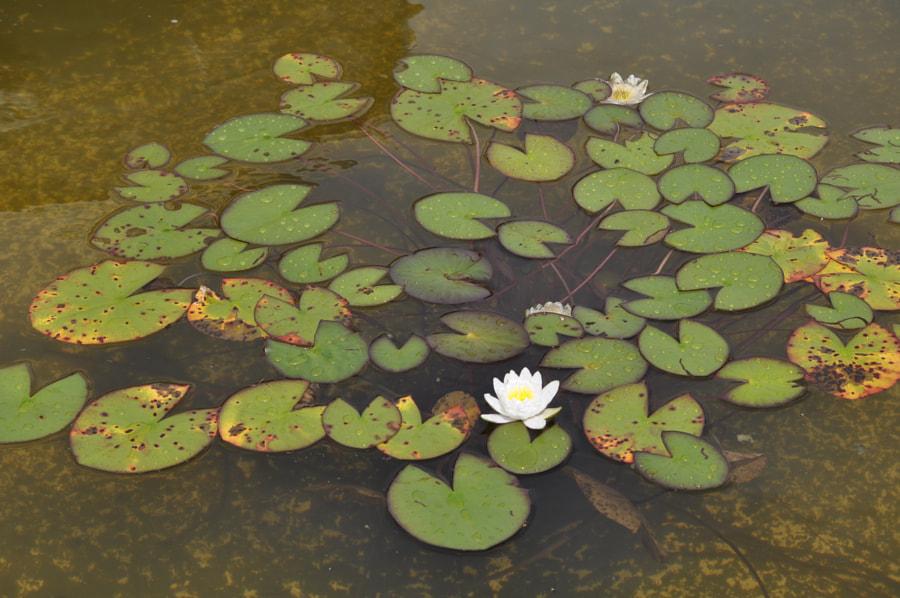 Water Lilies in Elm Bank
