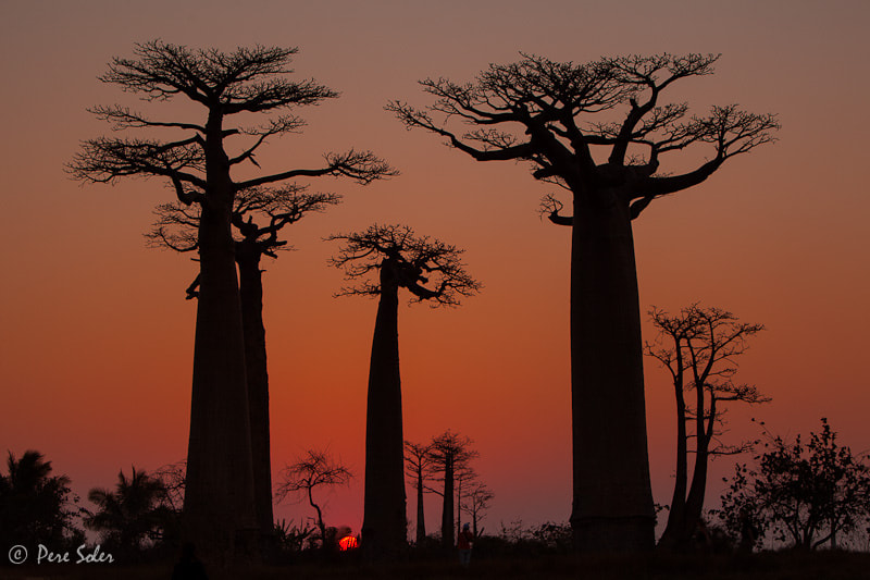 Photograph The Baobab Family by Pere Soler on 500px