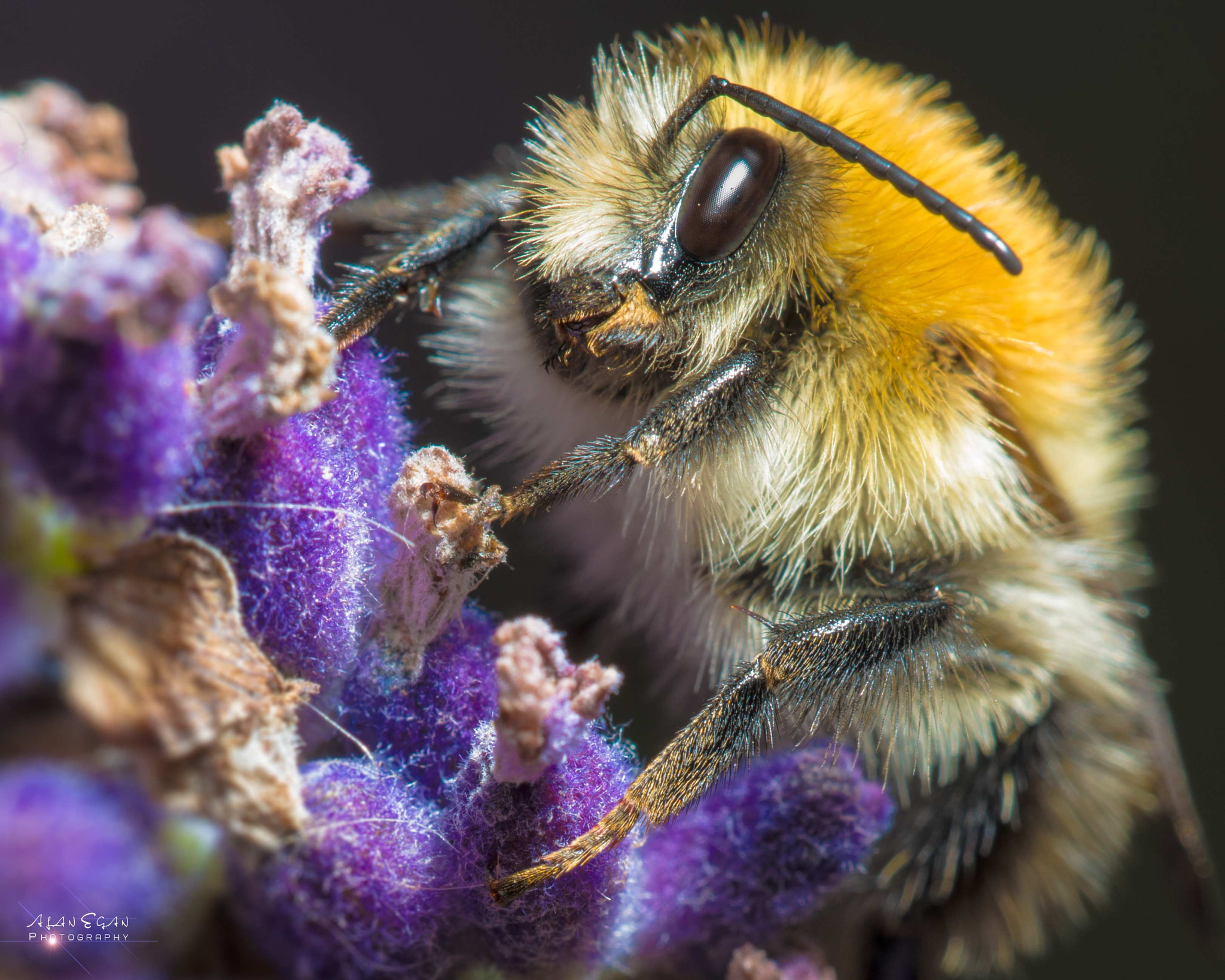 Photograph Drunk Bumblebee  by Alan Egan on 500px
