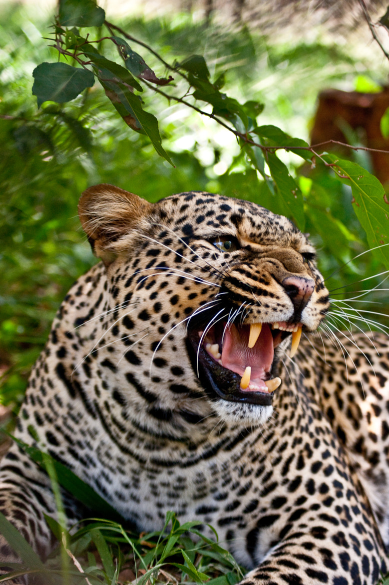 Photograph Snarling Leopard by Greg McMullin on 500px