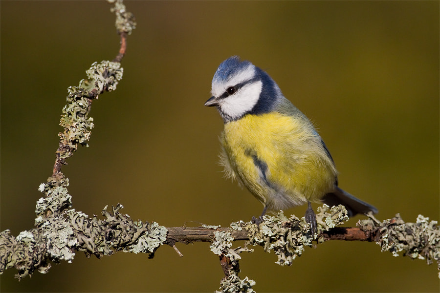 Photograph Blue Tit by Marcin Perkowski on 500px
