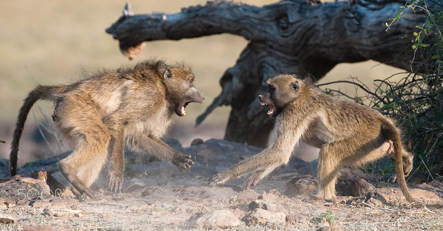 two fighting baboons seen close to the chobe riverfront in Botswana