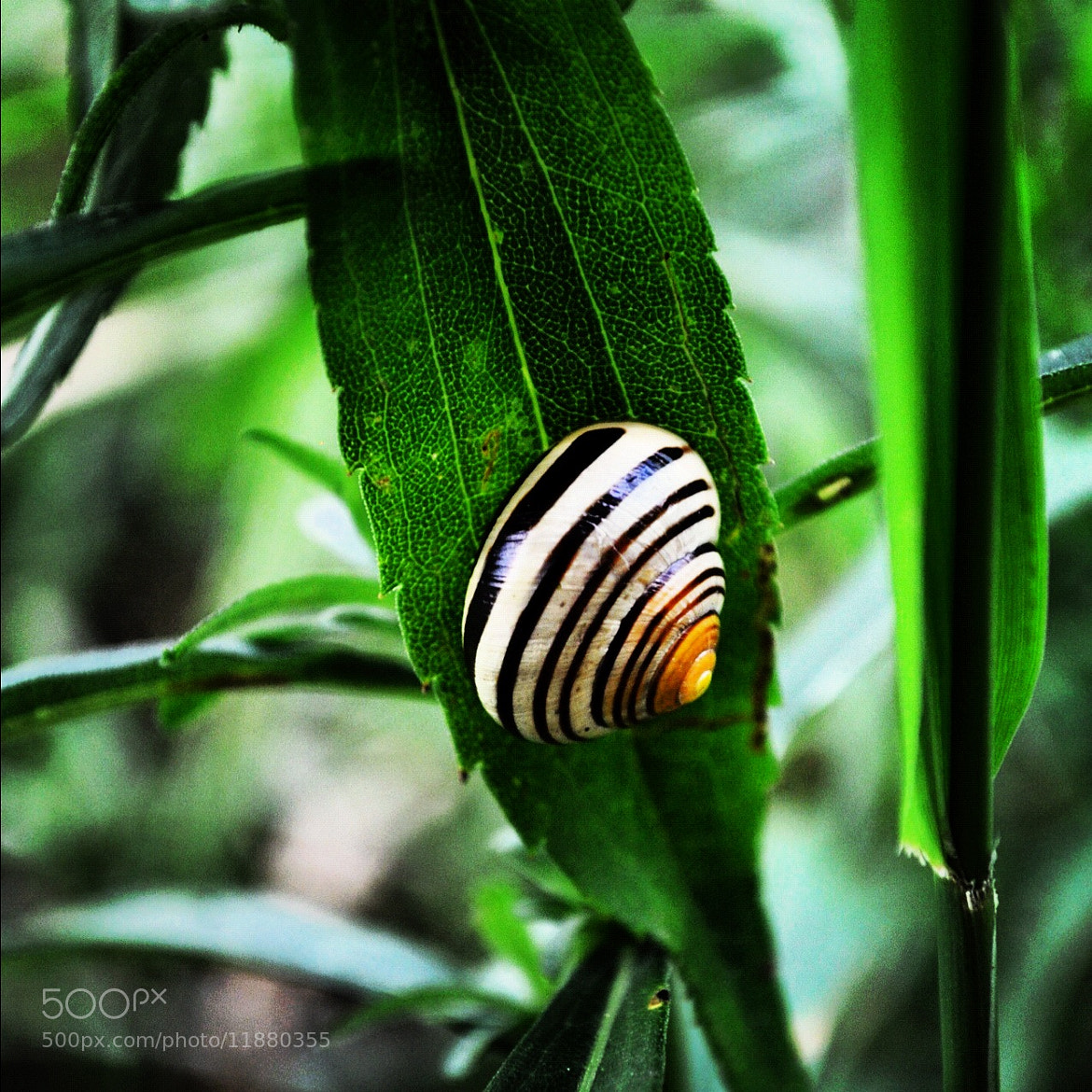 Photograph Snail by Jelena Lekic-Filipovic on 500px