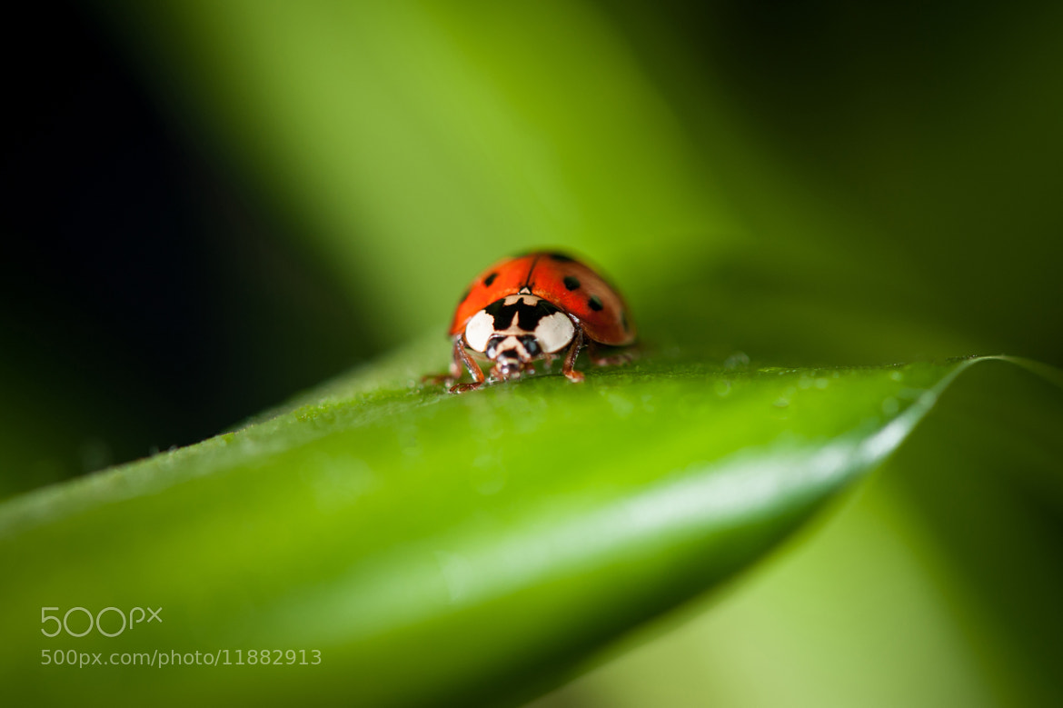 Photograph Ladybug by Justin Lo on 500px