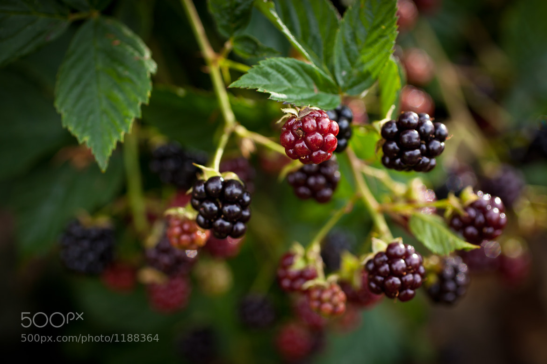 Photograph Blackberries by Håkan Dahlström on 500px