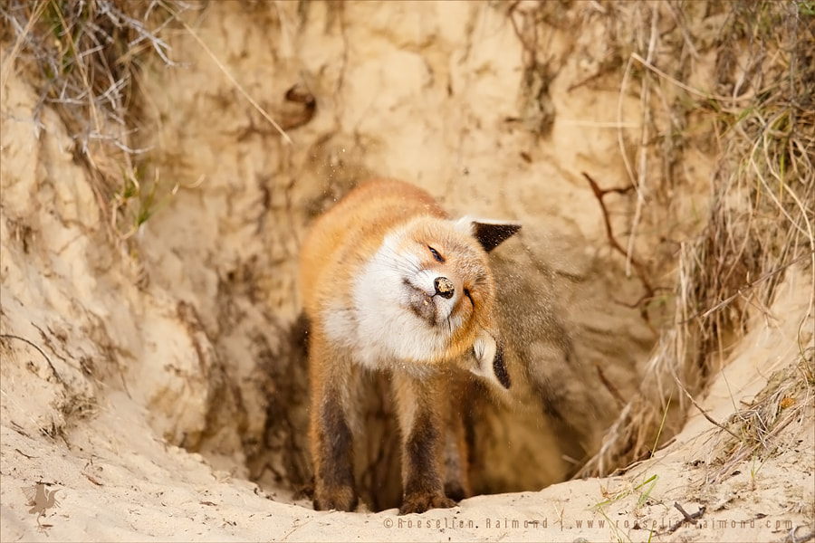 Mr. Sandy Nose by Roeselien Raimond on 500px.com