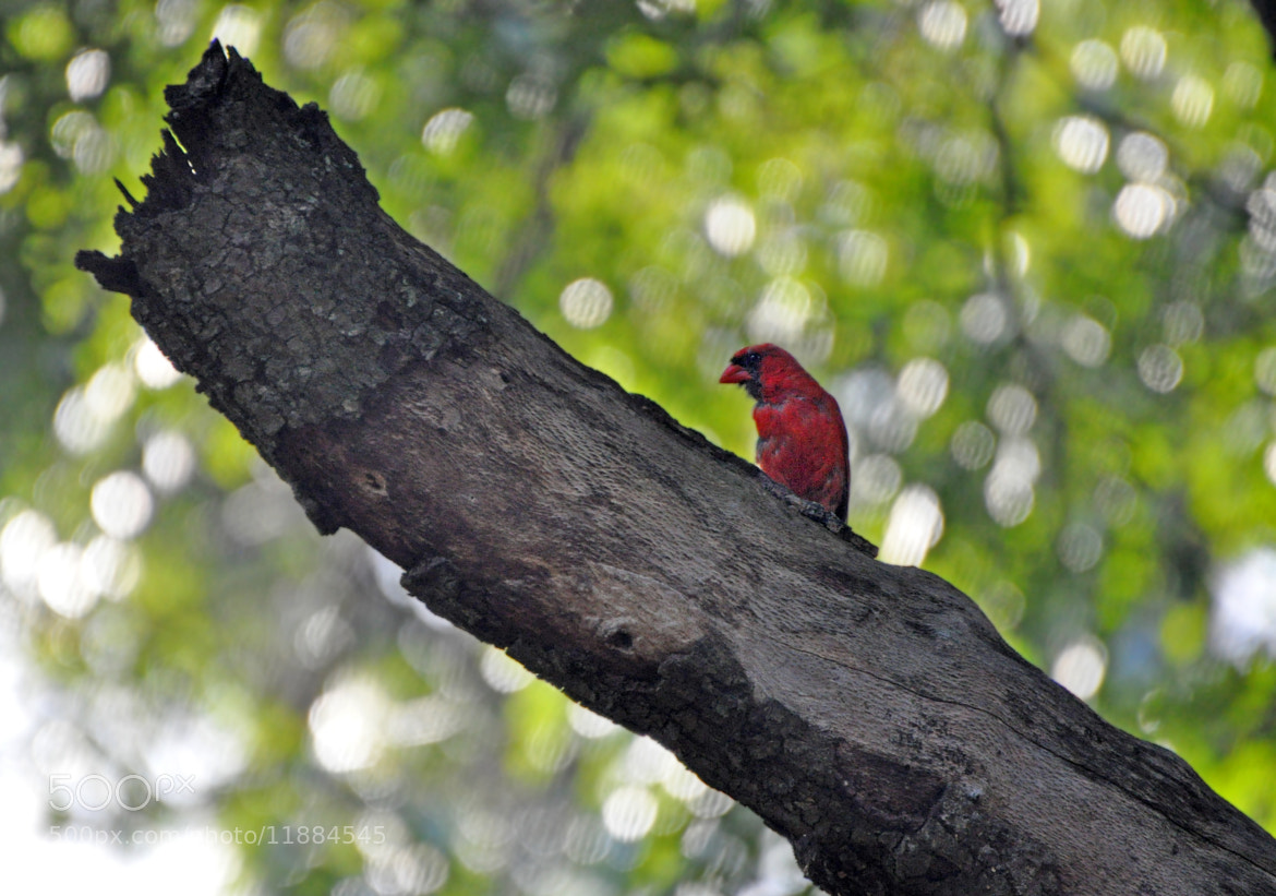 Photograph cardinal by Elissar Khalek on 500px