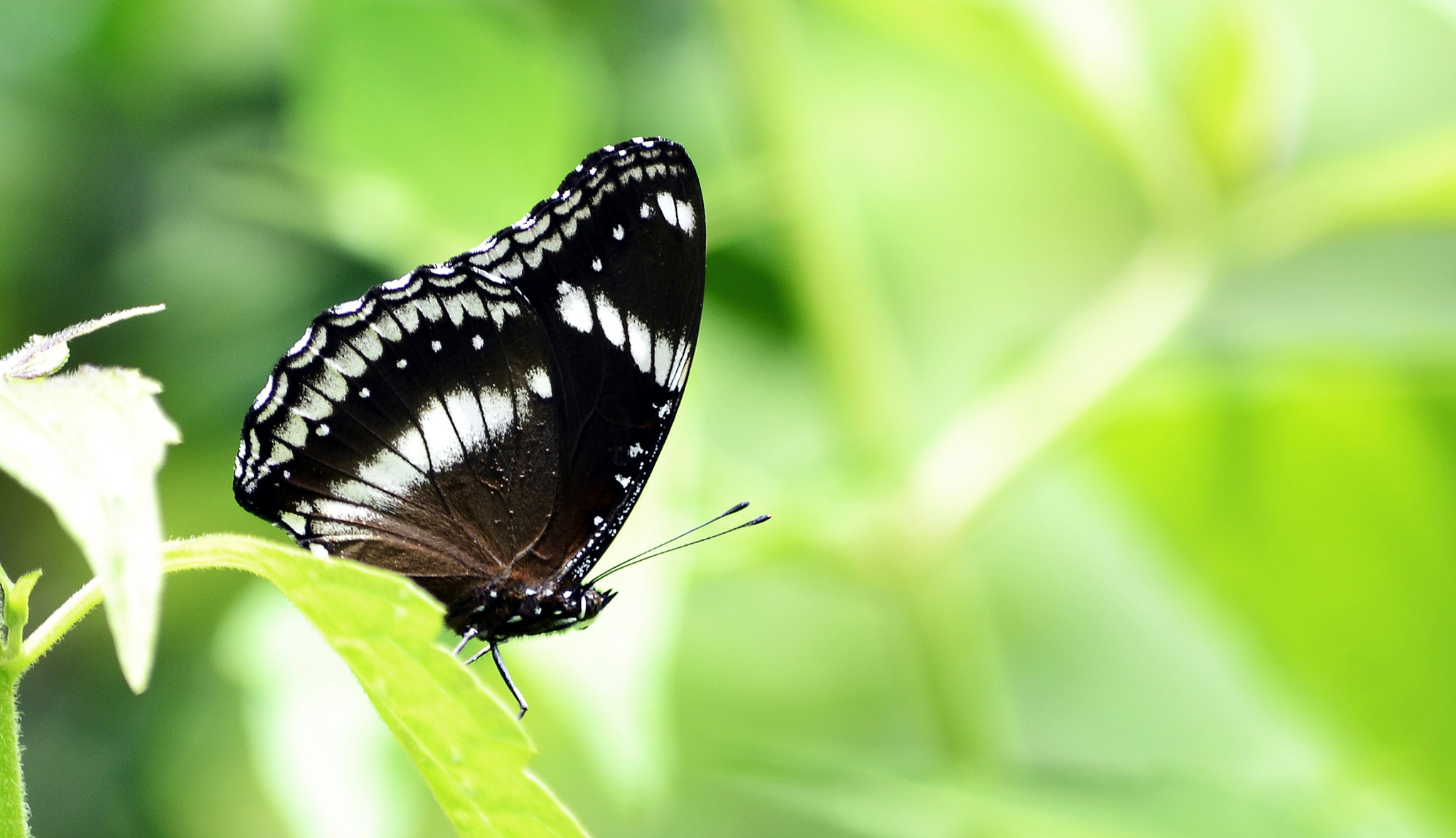 Photograph Great Eggfly by Rashmi Herle on 500px