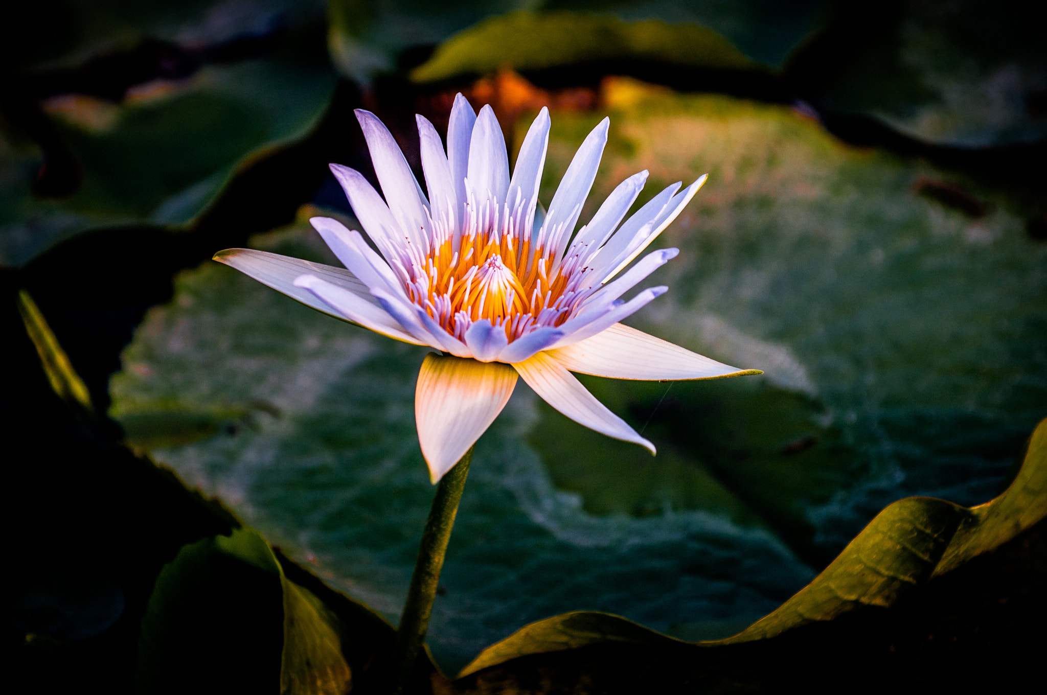 Photograph Lotus by Gordon Chiam on 500px