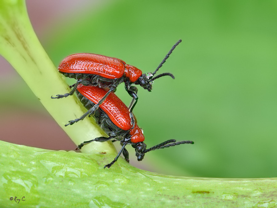 Photograph Leaf Beetles by Roy Churchill on 500px