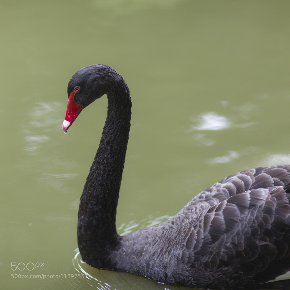 Photograph The Black Swan by Kevinn Nicol on 500px