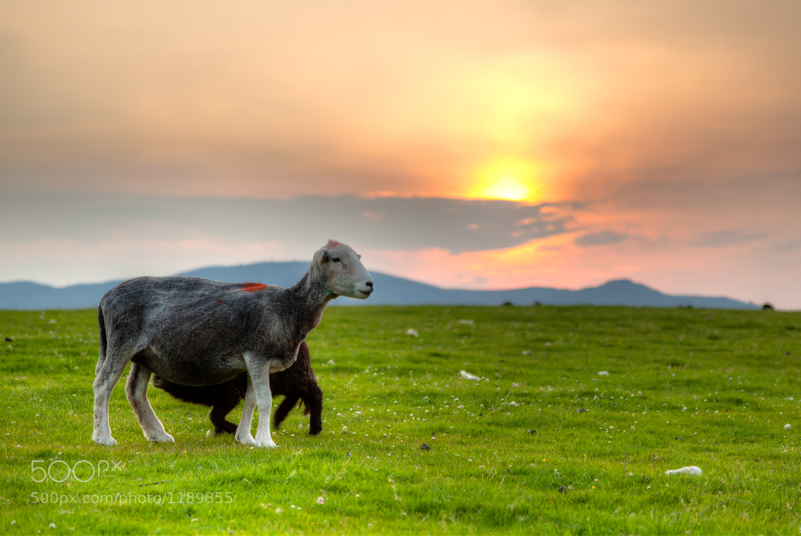 Photograph Nursing Lamb in Keswick by Stanton Champion on 500px