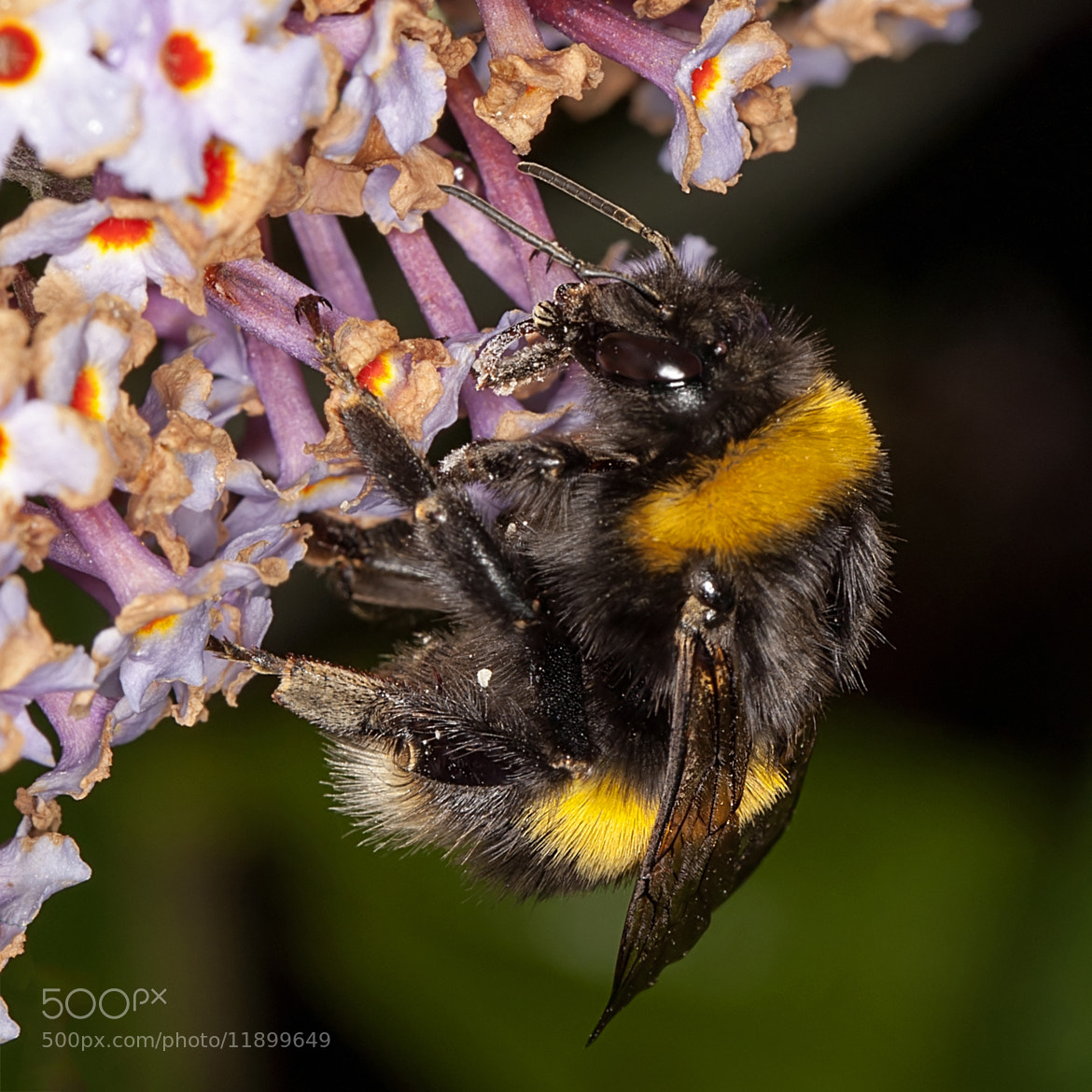 Photograph Bumble Bee on Buddleia by Tim Tapley on 500px