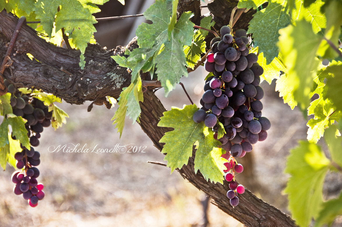 Photograph grapes by Michela Leonetti on 500px