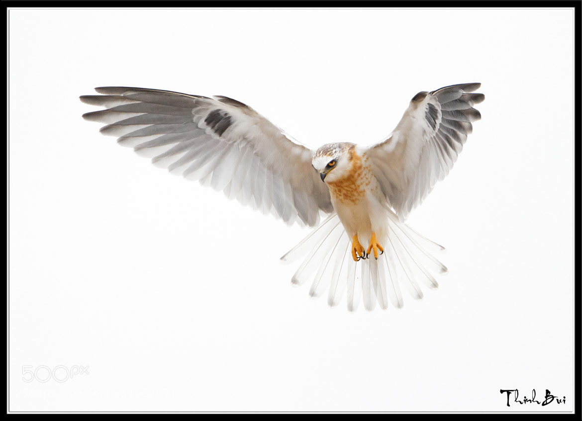 Photograph Juvi White Tailed Kite High Key by Thinh Bui on 500px