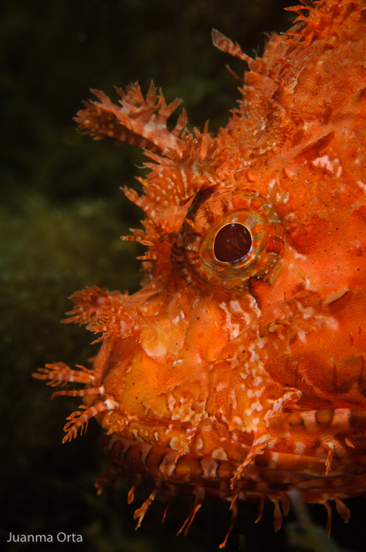 Photograph Red scorpionfish by Juanma Orta on 500px