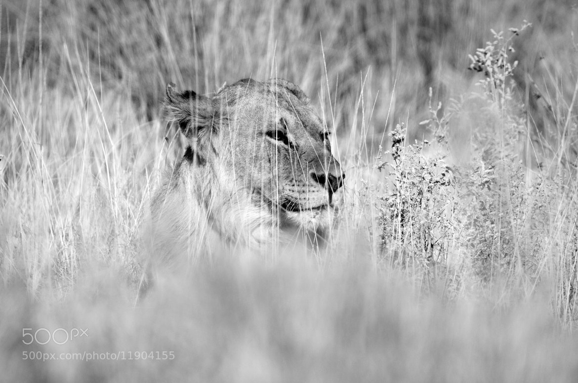 Photograph Lion in the grass by Grobler du Preez on 500px