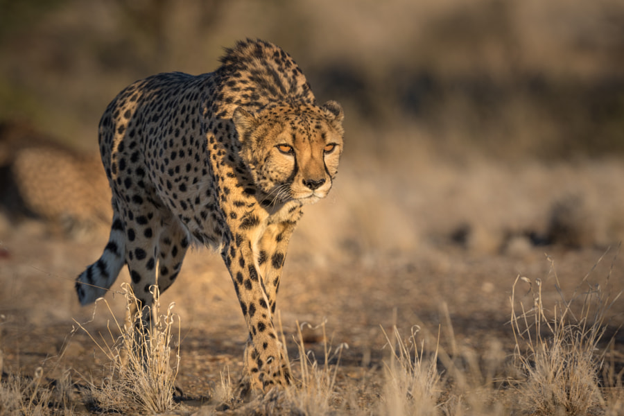On the Prowl! by Ali Khataw on 500px.com