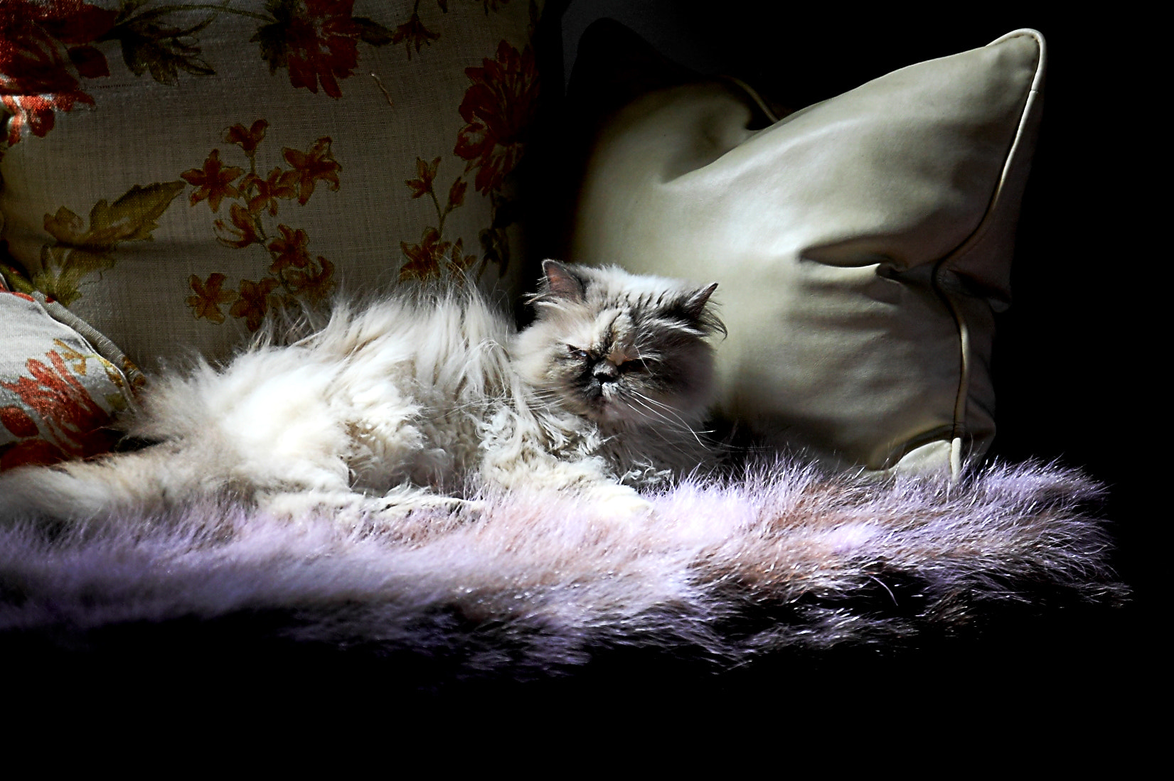 Photograph Persian Cat. by Yannis Karantonis on 500px