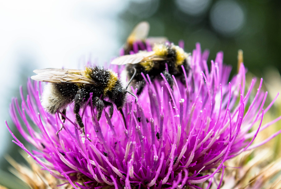 Bee on а thistle by Radoslav Zarkov on 500px.com