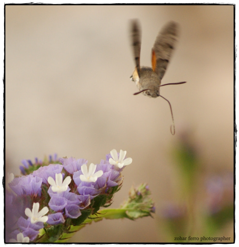 Photograph pollinators by Zohar Ferro on 500px