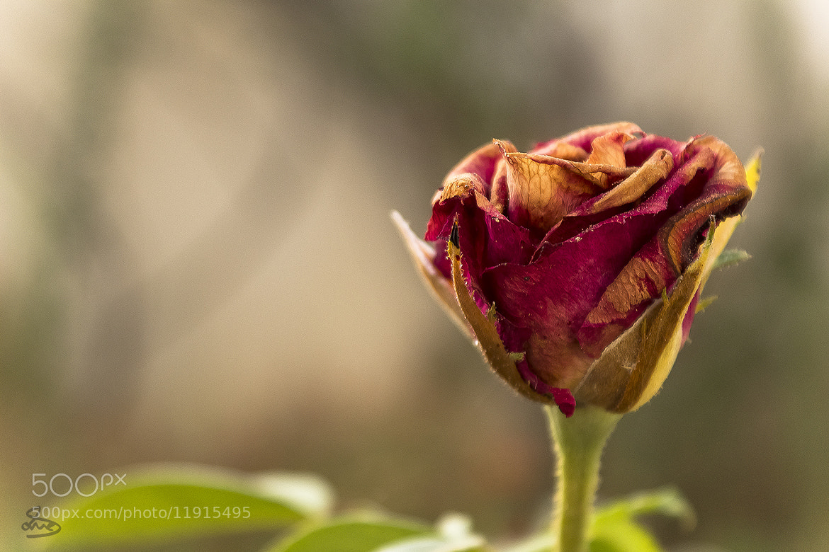 Photograph Rose وردة by Anas Mussa on 500px